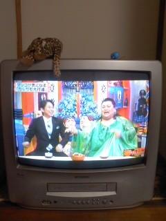 テレビの上で昼寝するひょう